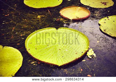Nenuphars Victoria Amazonia in Pamplemousses gardens, Mauritius island, indian ocean poster