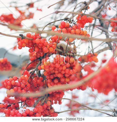 Viburnum In The Snow. First Snow. Beautiful Winter