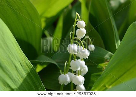 Beautiful White Bells, Whole Flowers Of Lily Of The Valley, Green Large Leaves Of Lily Of The Valley