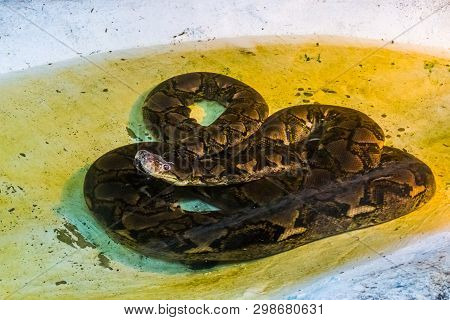 reticulated python laying in the water, portrait of a large snake, Reptile from Asia poster