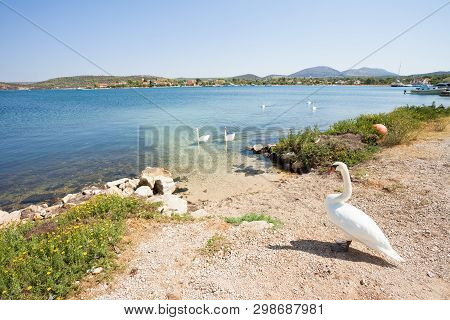 Bilice, Sibenik-knin, Croatia, Europe - A Swan Cob Waiting For Its Family At The Beach