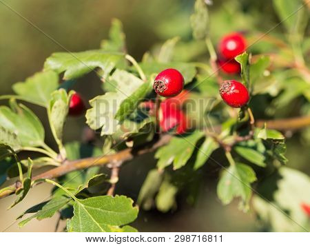Hawthorn, quickthorn,thornapple (Crataegus) species are shrubs or small trees with with small pome fruit and thorny branches poster