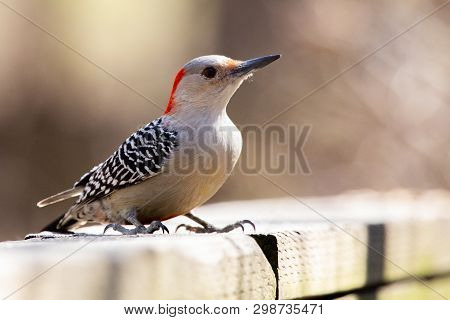 Fauna Avian Colourful Colorful Bird Birds Red Bellied Woodpecker