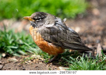 Wildlife Fauna Birds Red Orange American Robin Juvenile
