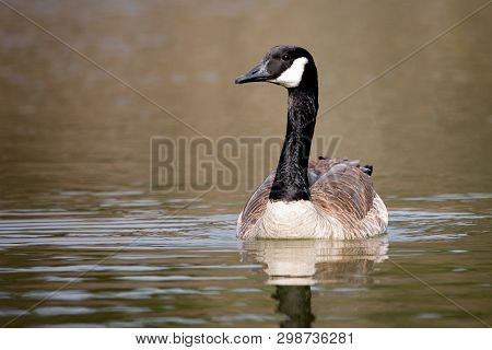 Wildlife Birds Canadian Canada Goose Swimming Green Algae Pond Afternoon
