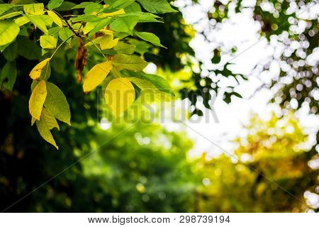 Leaves, Which Begin To Turn Yellow, On The Branches Of A Tree. The Beginning Of Autumn