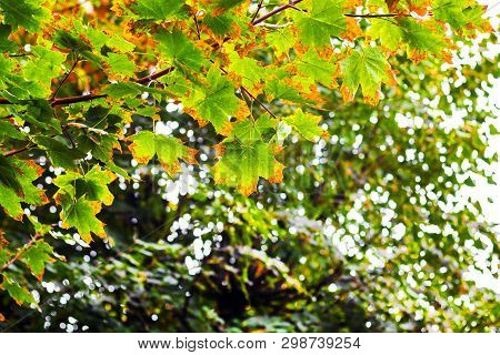 The Leaves Of The Maple, Which Begins To Yellow, On The Branches Of The Tree. The Beginning Of Autum
