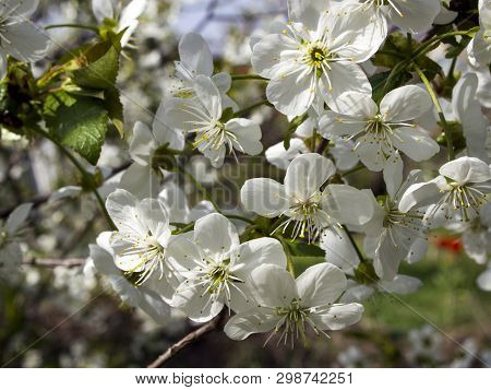 Prunus Cerasus Blossoms In Spring. Beautiful Delicate Small White Flowers On A Branch Of A Cherry Tr