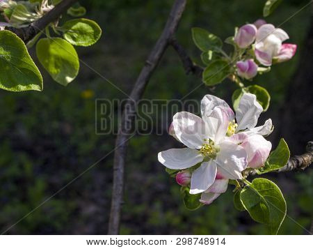 Beautiful White And Pink Blooming Flower And Green Leaves On Pear Tree. Pyrus Communis In A Spring G