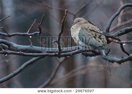 A Mourning Dove Perched in a Tree in the Rain poster