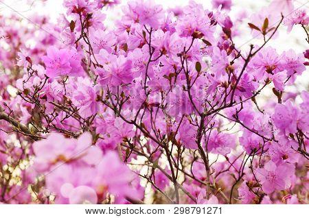 Pink Flower Azalea Rhododendron. Group Bright Cerise Flowers Background.
