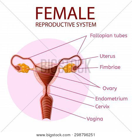 Female Reproductive System. Human Anatomy. Uterus And Ovaries Scheme With All Main Parts Labeled. An