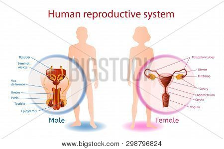 Human Reproductive System Anatomical Banner With Close Up View Of Male And Female Genitals With All