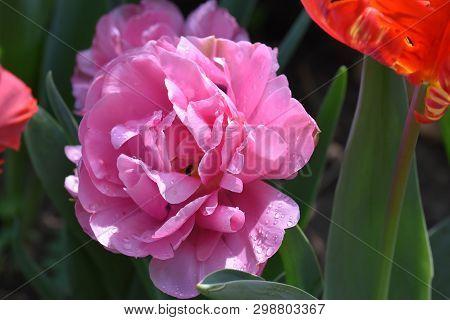 Very Nice Pin K Tulip In My Garden