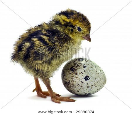 Nestling of quail is waiting for his sibling.Age of nestling one hour after hatching poster
