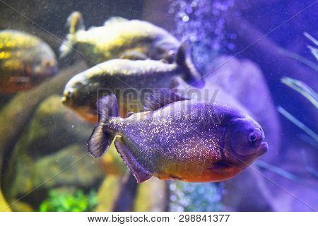 red-bellied piranha fish in aquarium with illumination