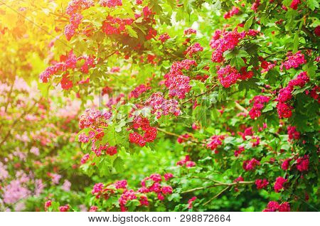 Spring flower landscape. Hawthorn tree pink spring flowers, in Latin Crataegus Laevigata. Hawthorn in spring blossom