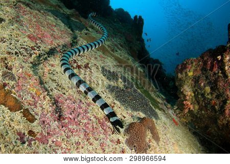 Banded Sea Krait (Snake)	underwater