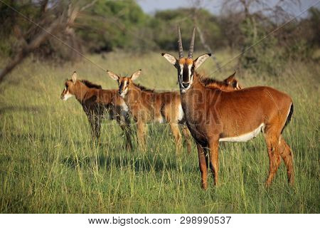 A family group of sable antelopes (Hippotragus niger) in natural habitat, South Africa