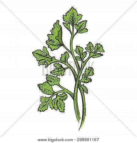 Cilantro Coriander Parsley Green Herb Spice Color Sketch Engraving Vector Illustration. Scratch Boar