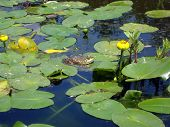 This bullfrog was soaking up the sun on a lily pad.  He posed long enough for me to snag this shot! poster