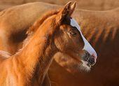 Sorrel foal near to sorrel mare poster