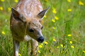 A young, white-spotted fawn in a green field of yellow dandelions sniffs one, ready to take a bite. poster