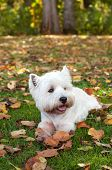 West highland white terrier on the green grass poster