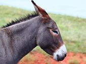 One of the famous begging burros of Custer State Park in South Dakota. poster