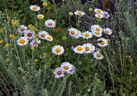 Seaside Daisy (erigeron Glaucus) Wildflowers. Floral Background.