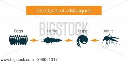 Mosquito Life Cycle Insect. Water Breeding Egg Vector Larva Aedes