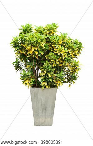 Garden Croton Tree In Pot Concrete Isolated On White Background.