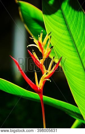 Beautiful Red, Yellow And Orange Heliconia (heliconia Spp.) Tropical Vivid Color Flower And Leaf In