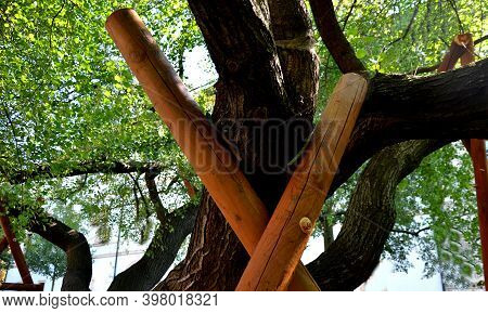 Multi-stemmed Tree In The Park Threatening To Break Skeletal Branches In The Branches Near The Trunk