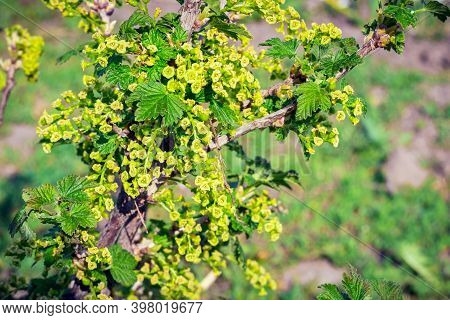 Currant Blossom, Currant Branch With Spring Flowers