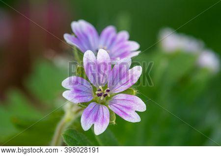 Doves Foot Geranium (geranium Molle) Flowers