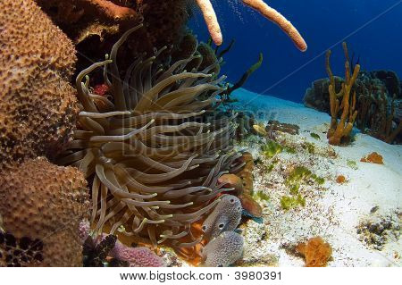 Caribbean Anemone