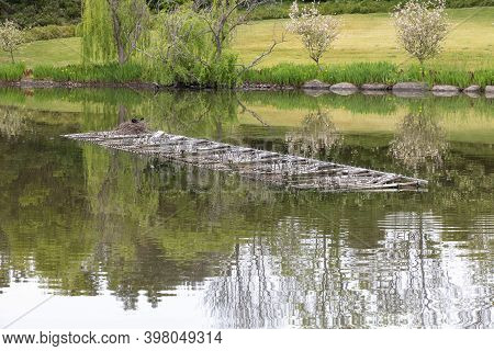 A Waterfowl Nesting On A Portable Fireworks Pontoon Floating On A Lake In A Large Public Garden