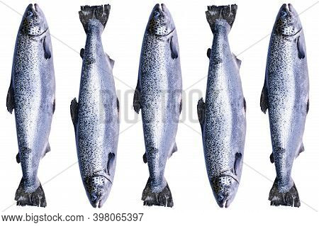 Set Of Salmon Fish Isolated On White Background. Fresh Wild Salmon Isolated On A White. Fresh Whole