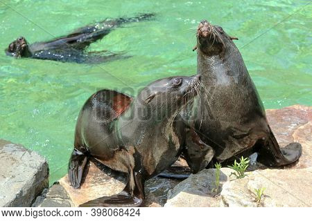 The Sea Lions By The Pool In The Zoological Garden During The Exhibition. Happy To Be Outside