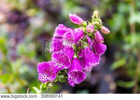 Beautiful Bright Purple Oblong-oval Flowers Of Digitalis Covered With Dew Drops.