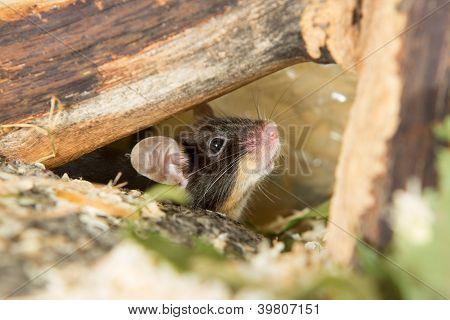 Little Mouse Under A Log