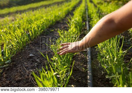 Care For The Future Harvest. Cultivation With Drip Irrigation. Love To Agriculture.
