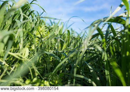 Juicy Greens In The Meadow.