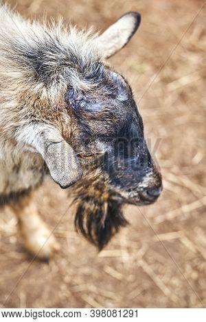 Cameroon Goat. Cameroon Hornless Goat On A Reindeer Farm