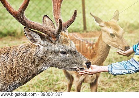Sika Deer On A Reindeer Farm. Deer Feeding