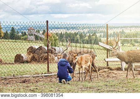 Dappled Deers On A Reindeer Farm. Schoolboy Feeding Dappled Deers At A Reindeer Farm During An Excur