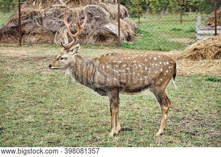 Sika Deer Buck On A Reindeer Farm. Profile View