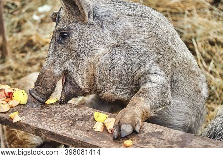 Pig Eating Apples In The Corral At The Farm