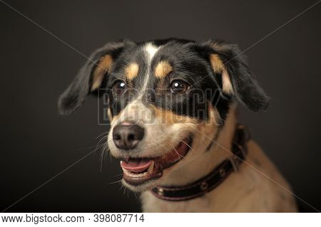 Cute Mixed Breed Puppy Portrait, White With A Red And Black Dog On A Dark Background In The Studio